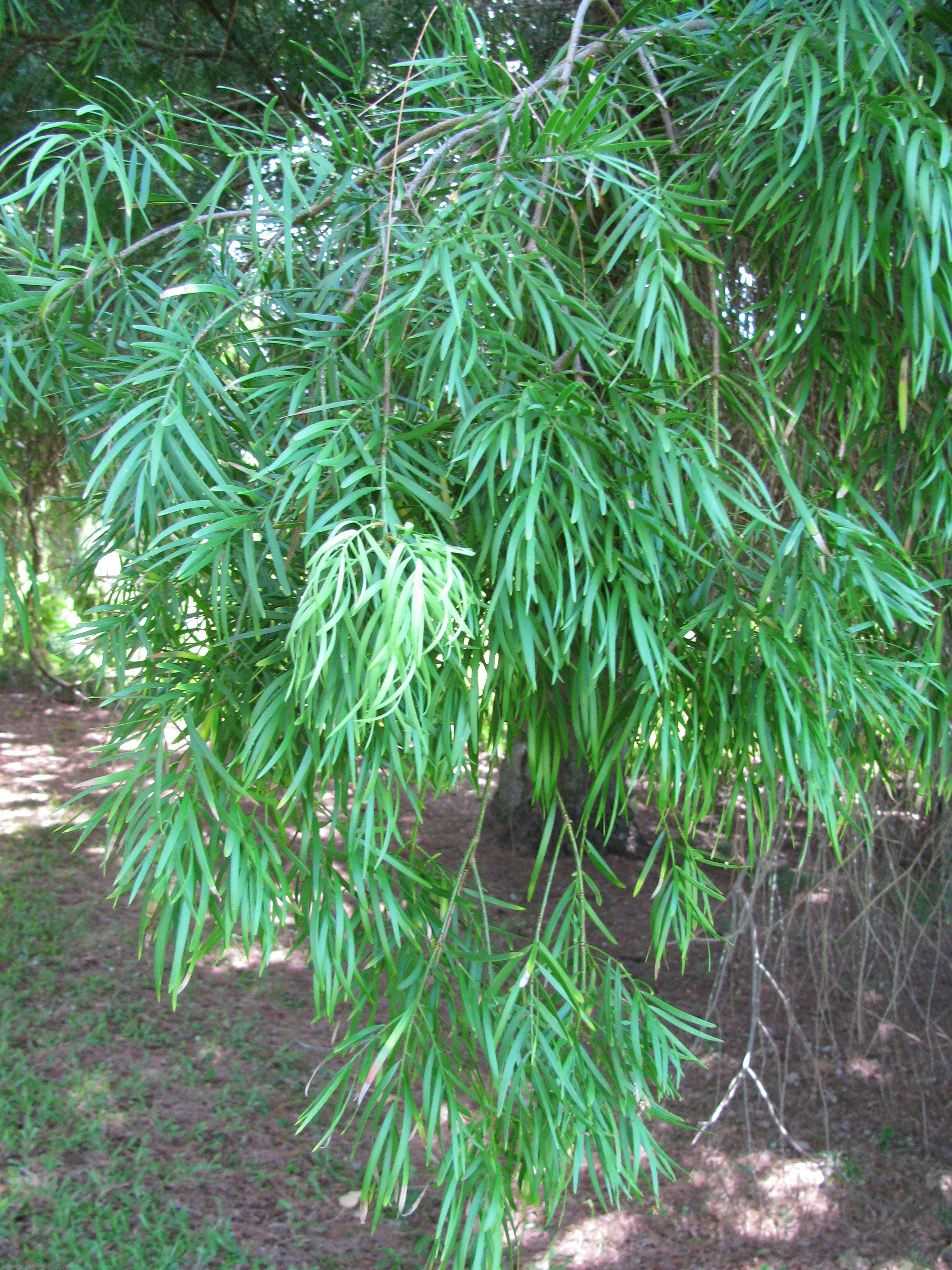 Growing The Fern Pine In The Home Garden