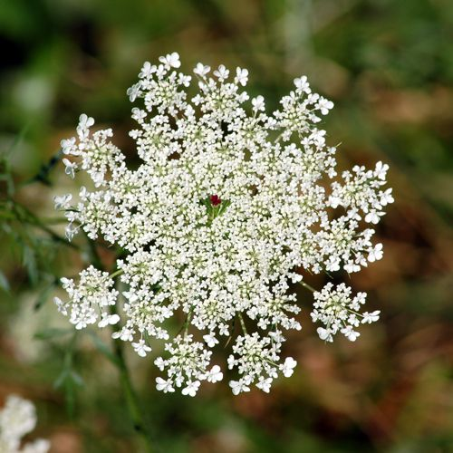 Picture of Queen Anne's Lace Flower