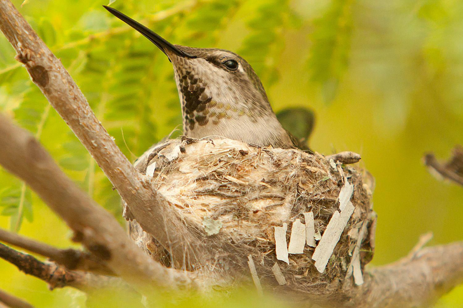 tips for bringing hummingbird nests to your yard
