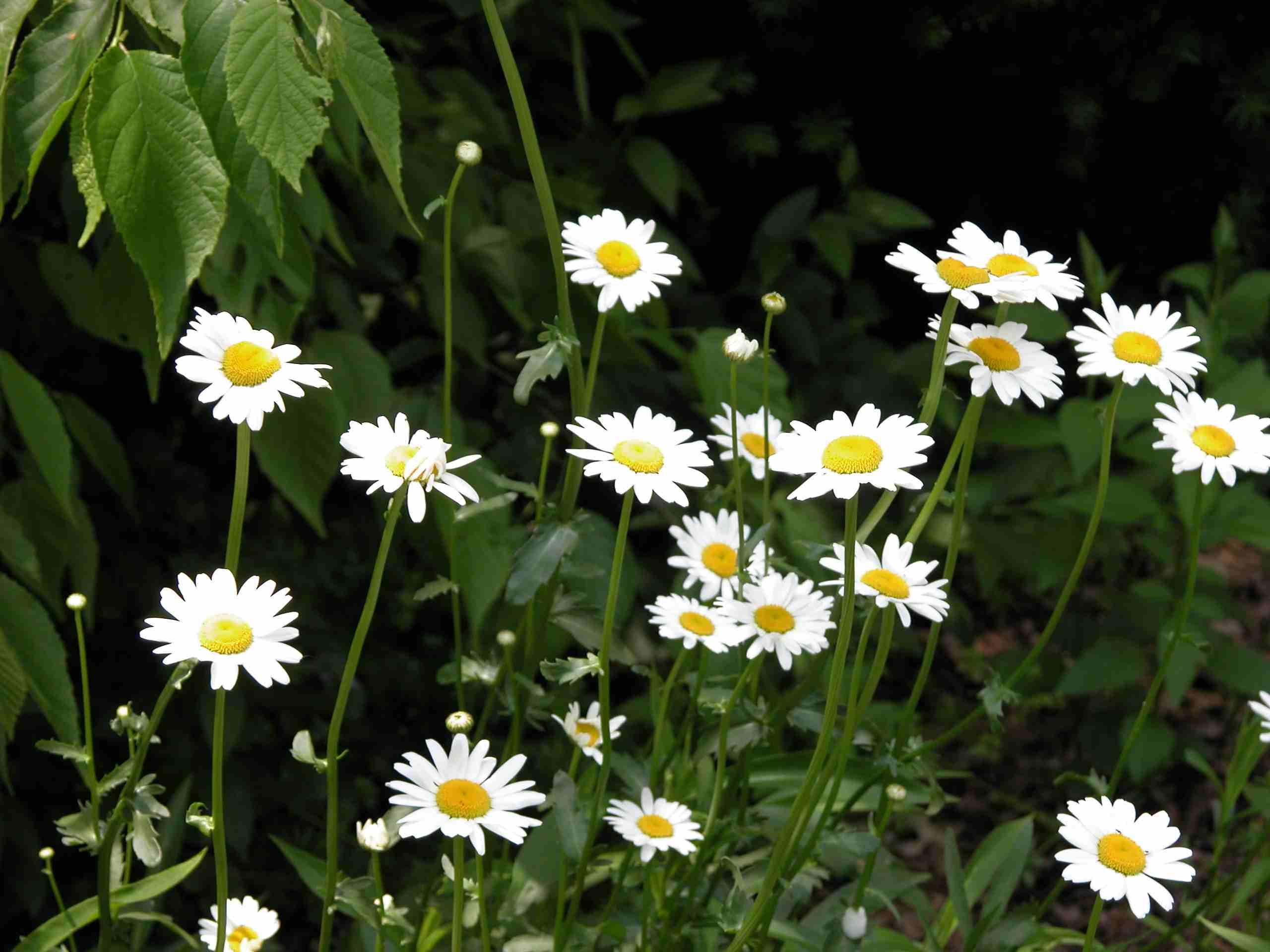 Shasta Daisy Photo