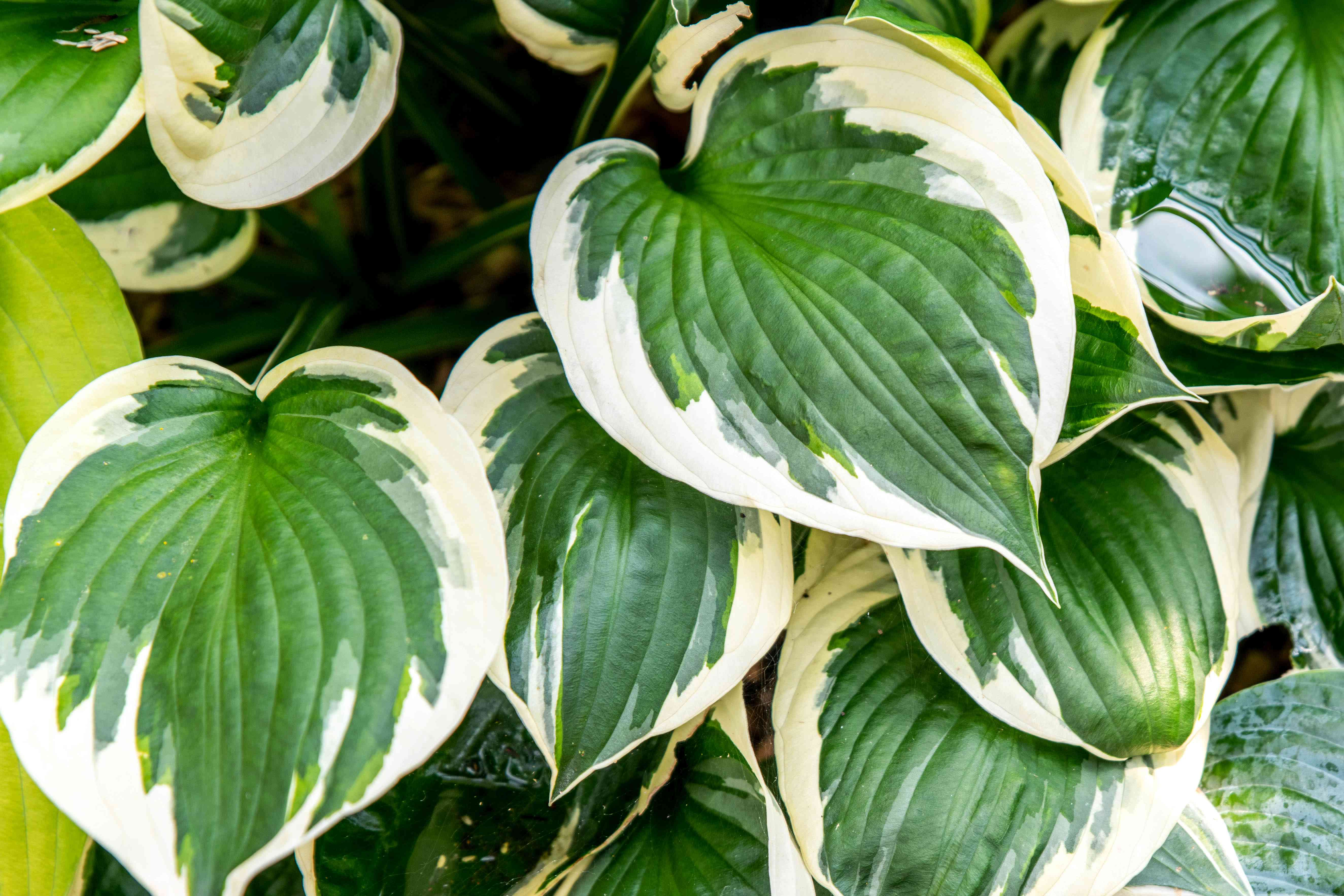 Patriot hosta plant with large rounded leaves with white edges closeup
