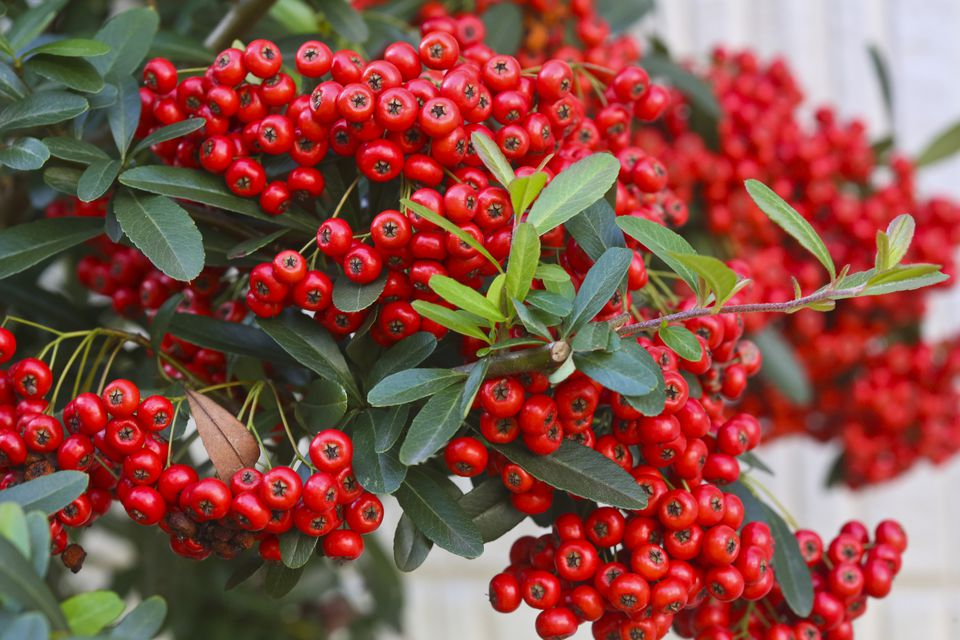 Cotoneaster shrub closeup with red berries