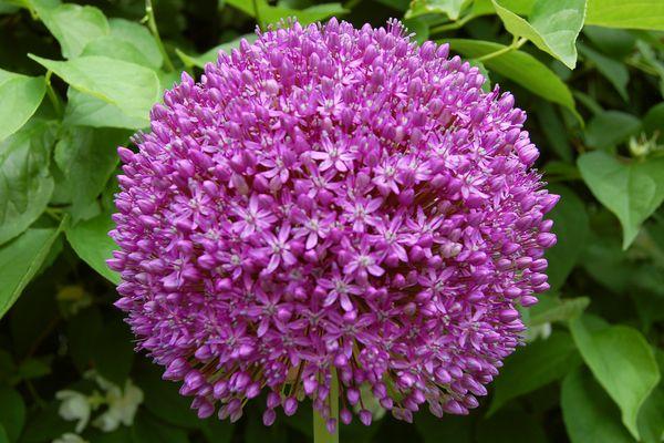 My image shows Allium 'Ambassador,