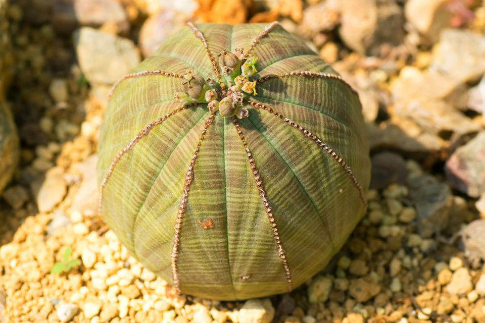 Baseball plant (Euphorbia obesa) planted in a rocky medium.