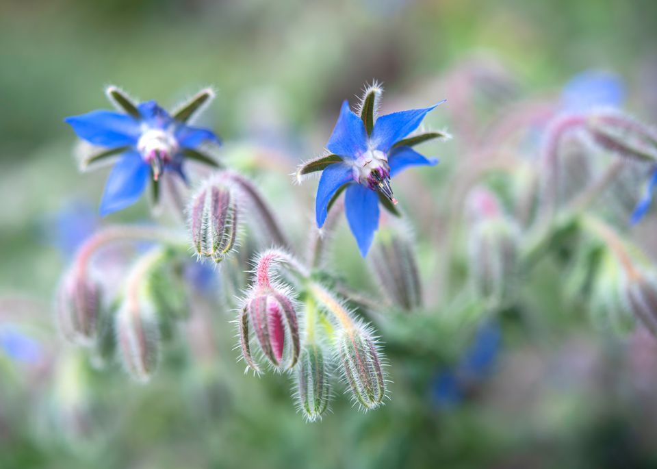Borage plant with blue flowers and buds
