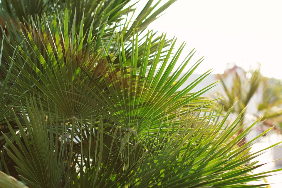 Bright leaves of European fan palm (Chamaerops humilis) in backlight. Soft focus on photo.
