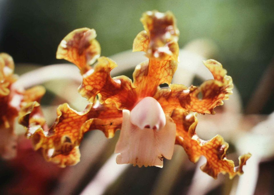 Schomburgkias orchid up-close