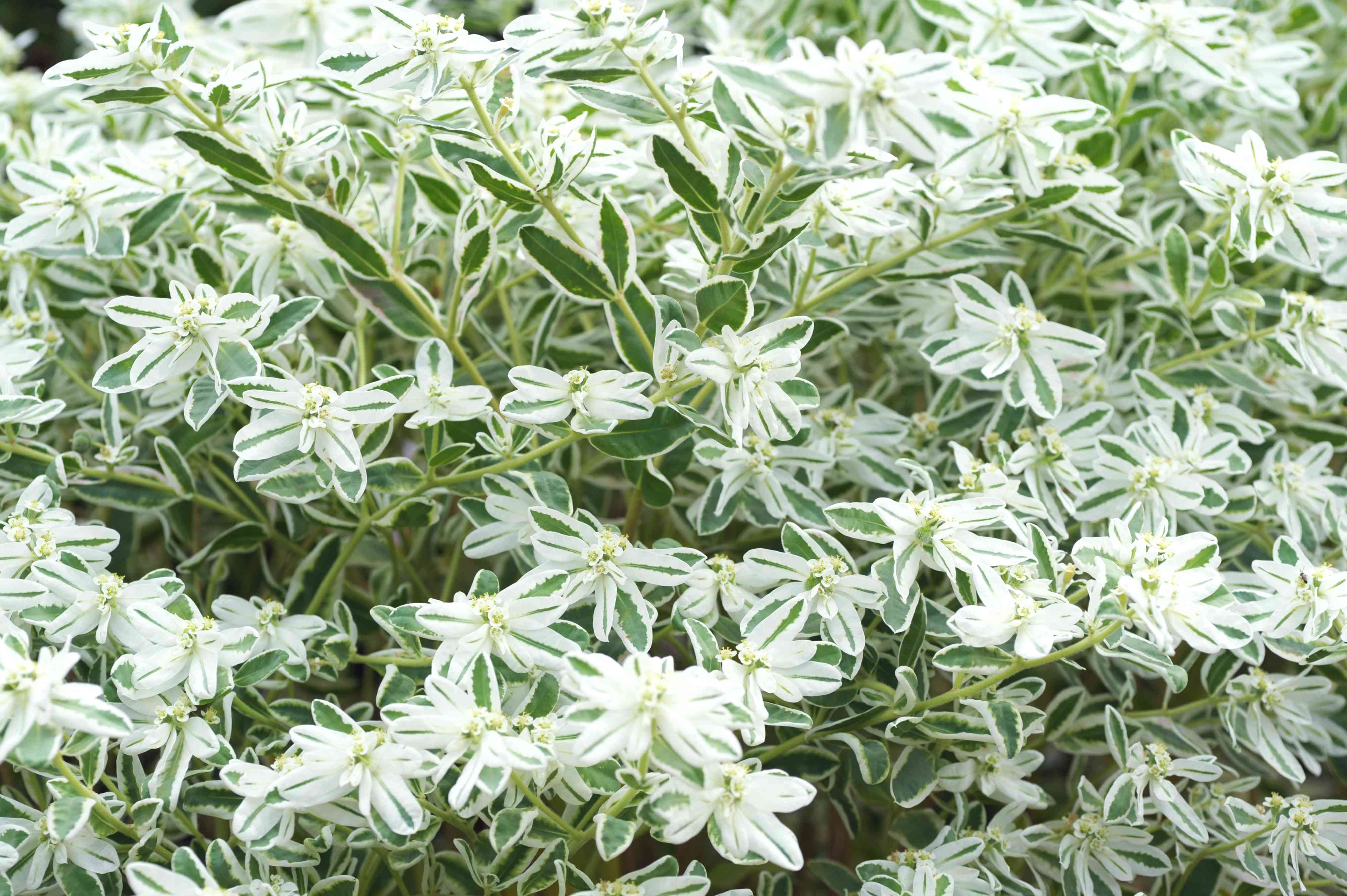 Snow on the mountain plant with white and green striped flowers and bracts