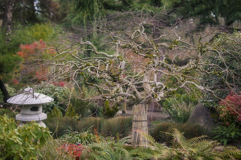 Twitsed limbs of Kapanese maple bare of leaves in an ornate Japanese garden.
