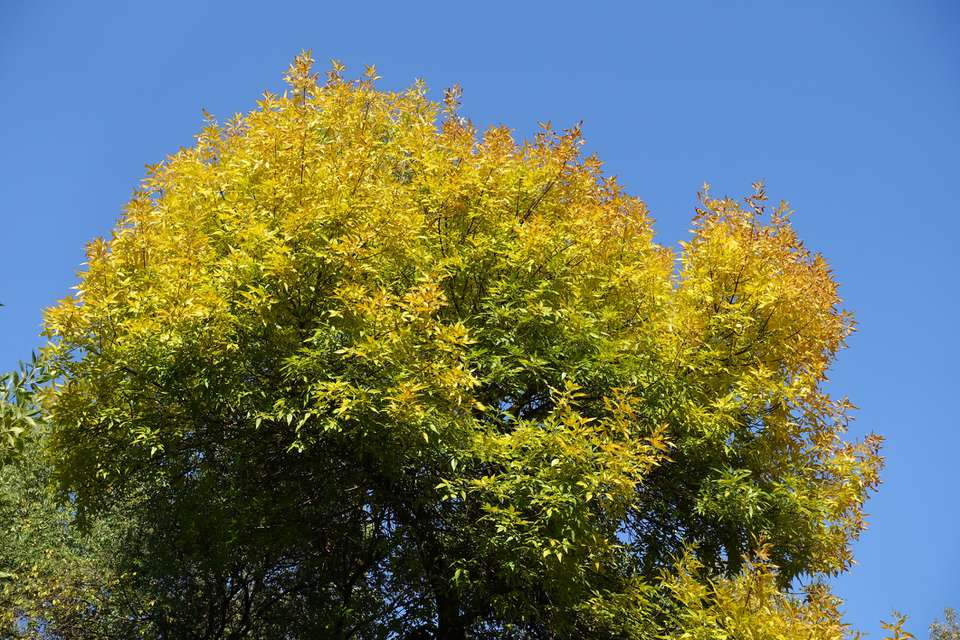 The top of a Green Ash Tree against a blue sky background