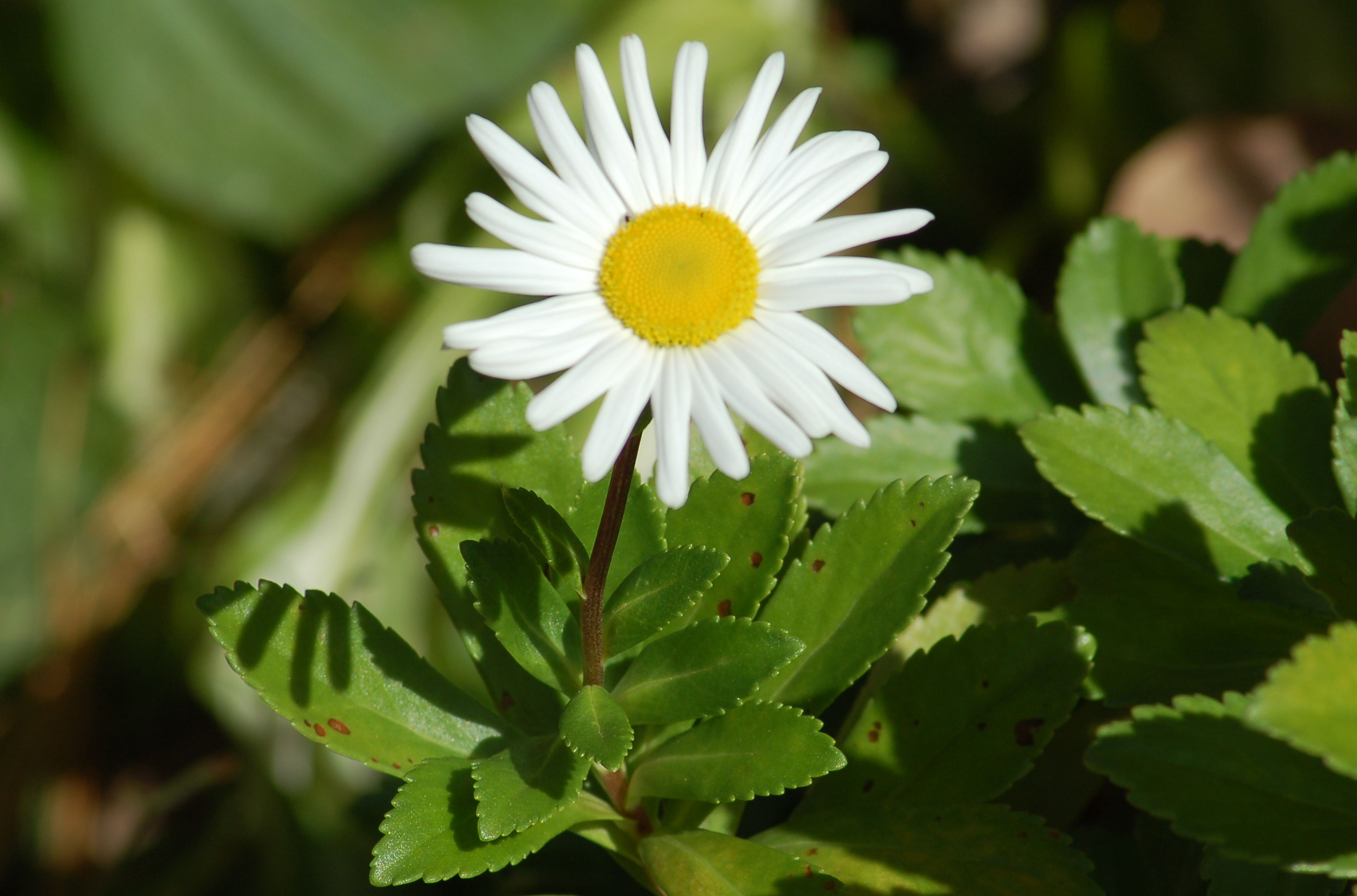 Montauk daisy plant in flower.