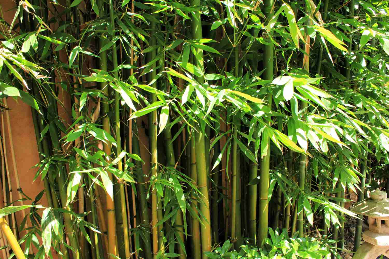 bambú en el patio