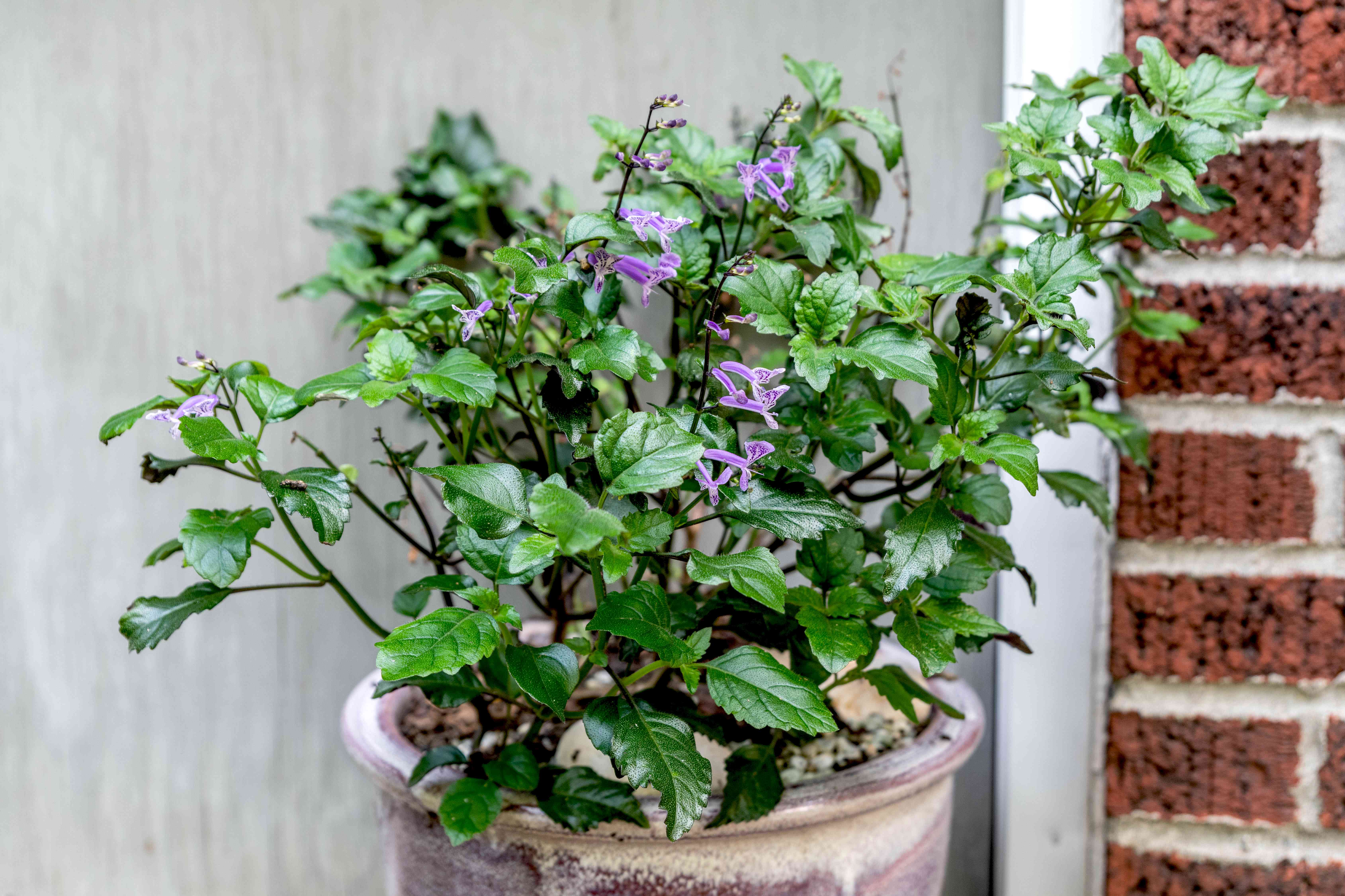Mona lavender plant with small purple blossoms surrounded by mint-like leaves in outdoor pot