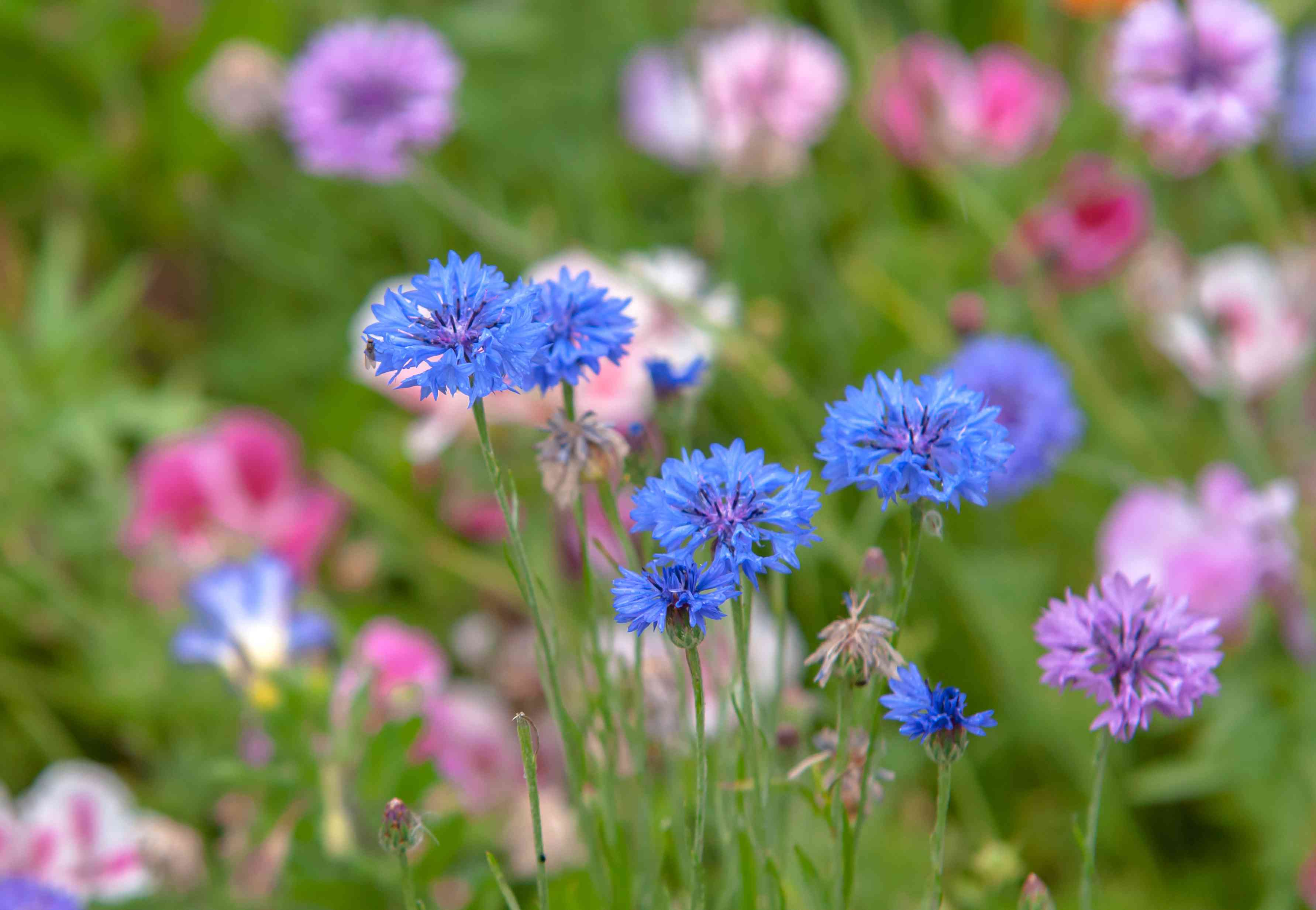 Blue cornflowers in a garden with other pink and purple flowers