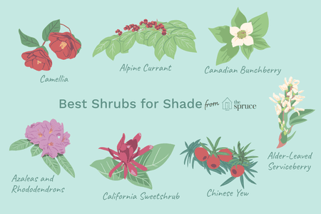 Ilration Of Best Shrubs For Shade