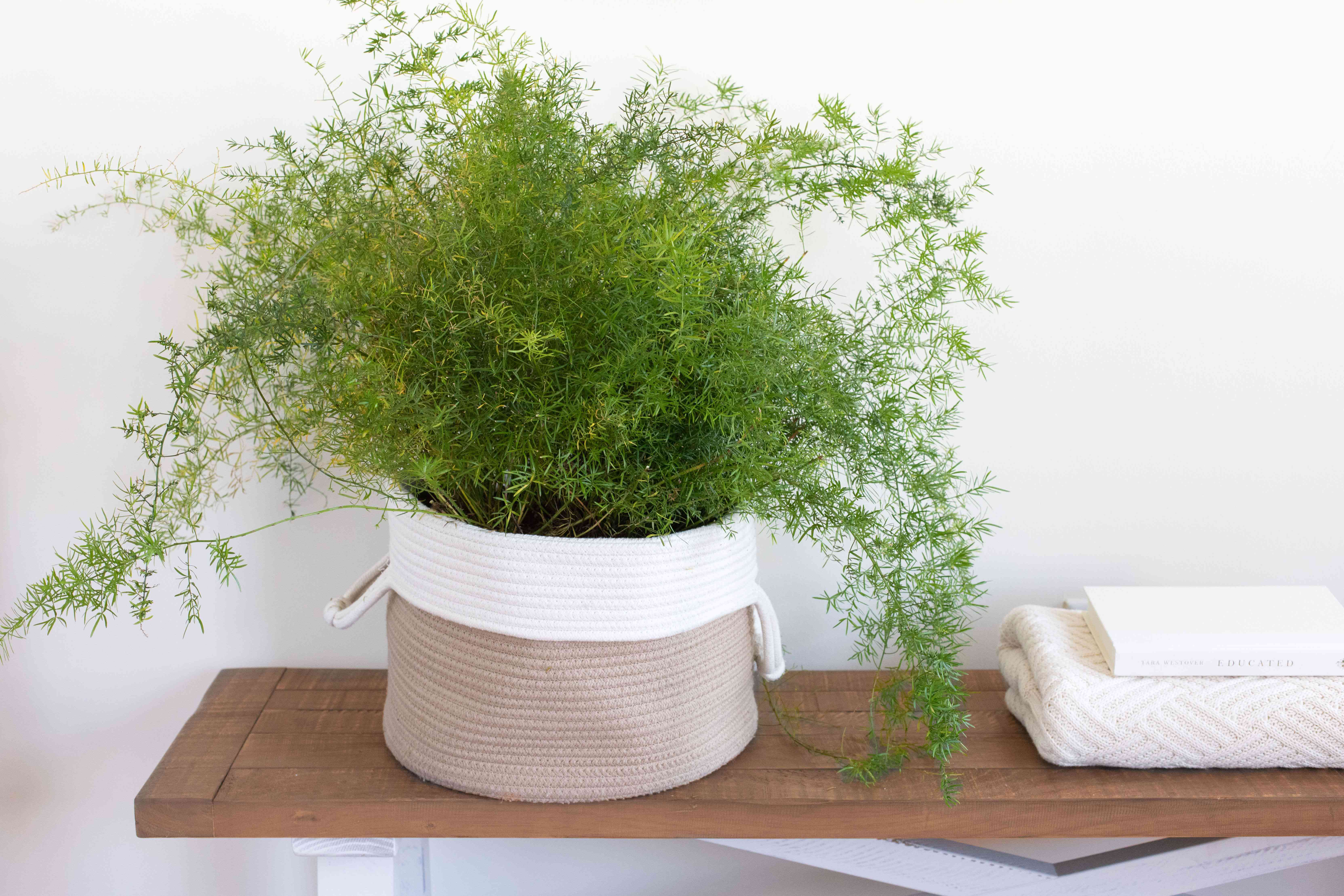 an asparagus fern in a basket