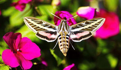 Impatiens With Sphinx Moth