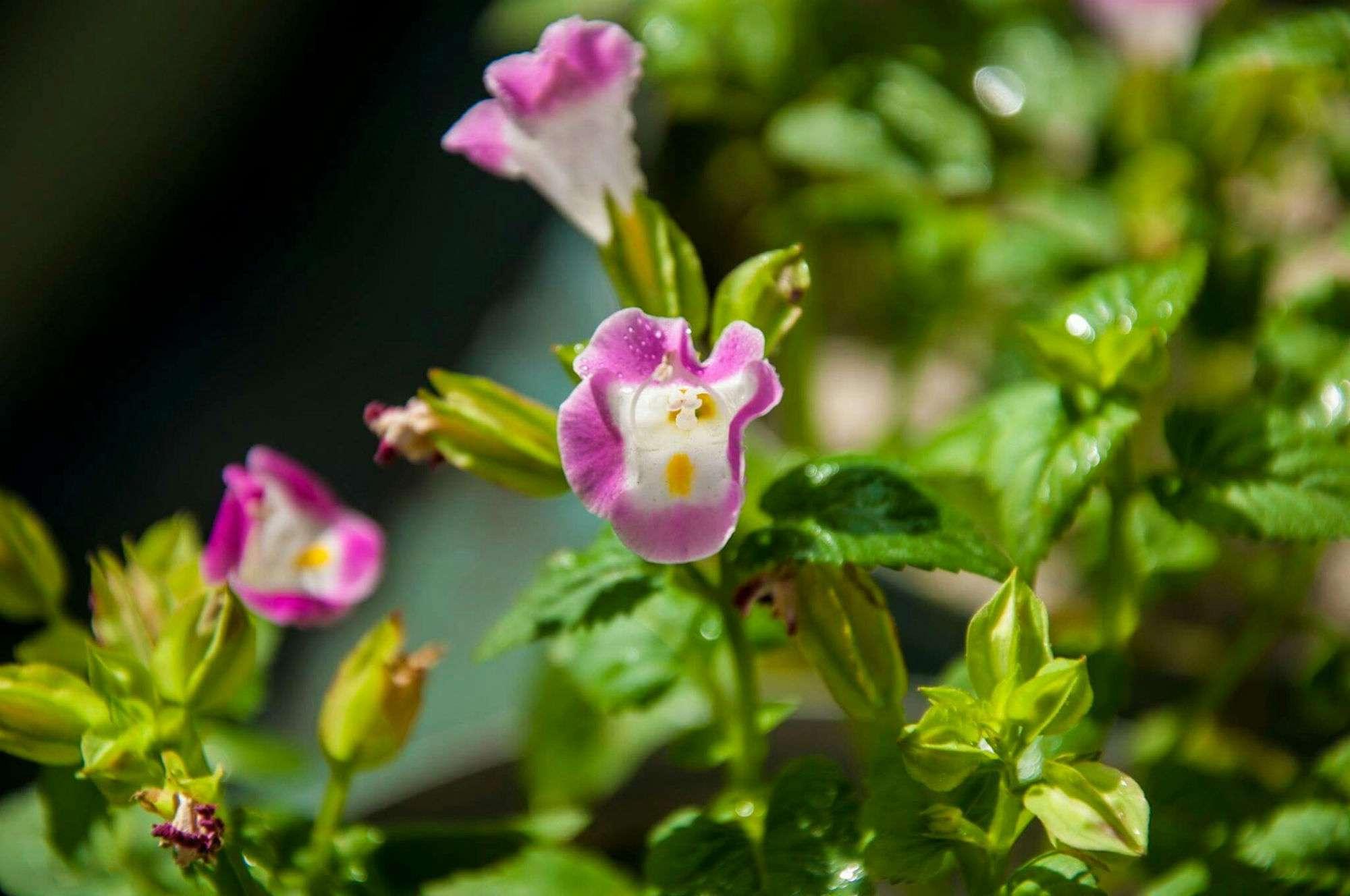 Primer plano de flores rosadas de Torenia que florece al aire libre