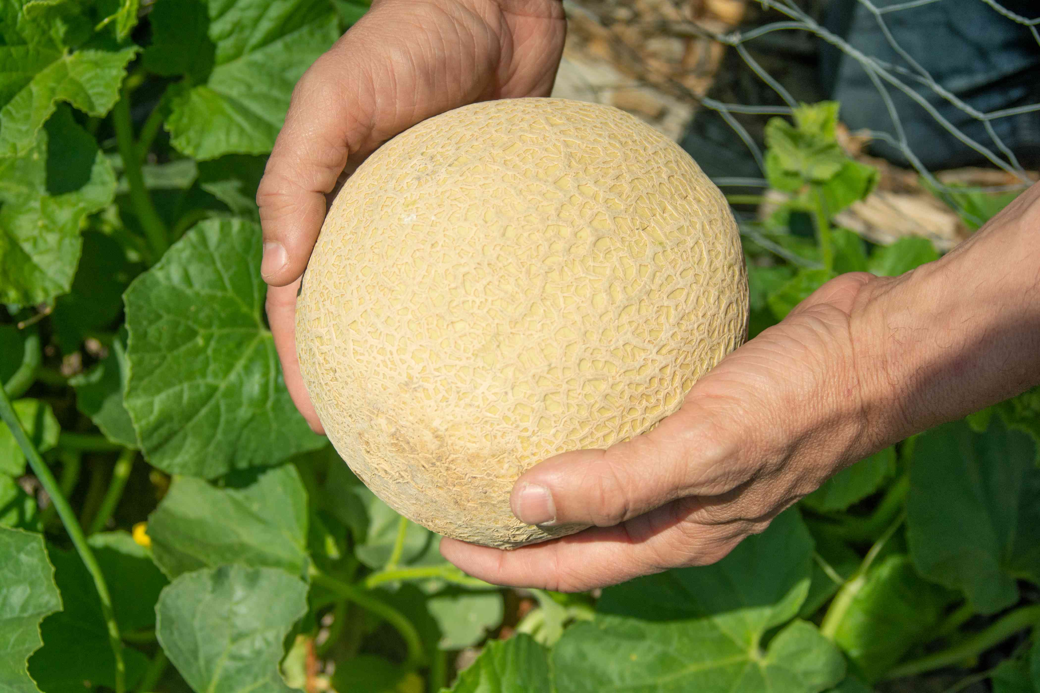 Cantaloupe fruit being held in hands over leaves