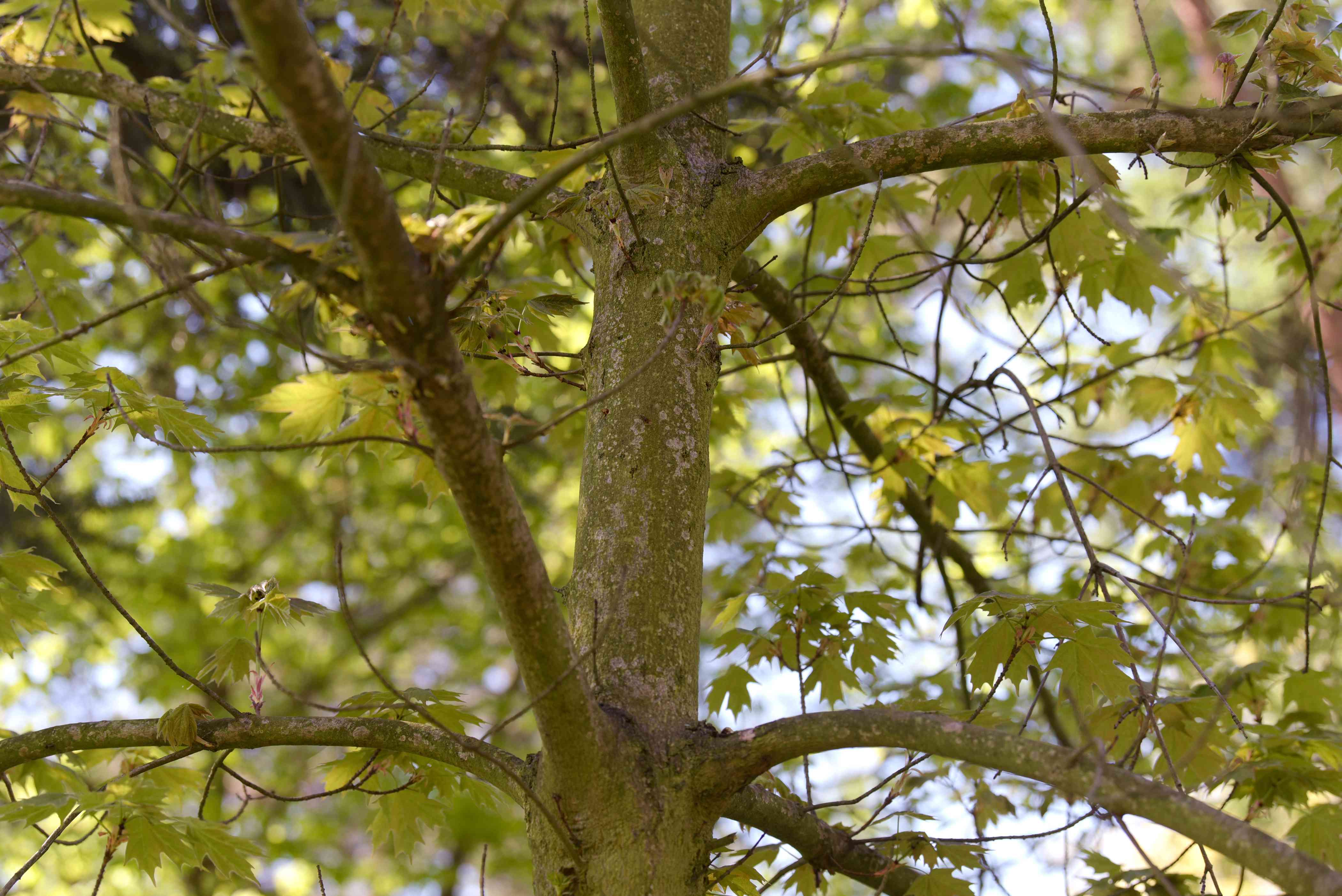 Sugar maple tree trunk with extending branches in the shade