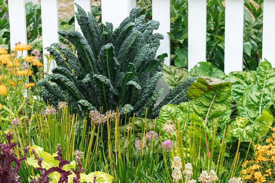 kale growing in a garden