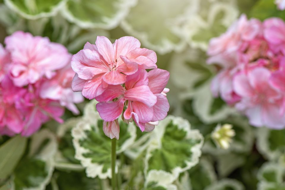 Close-up image of pale pink, summer flowering Pelargonium flowers also known as Geranium