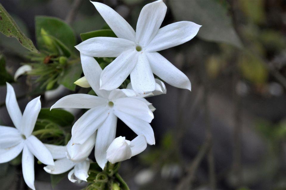 A close-up of star jasmine