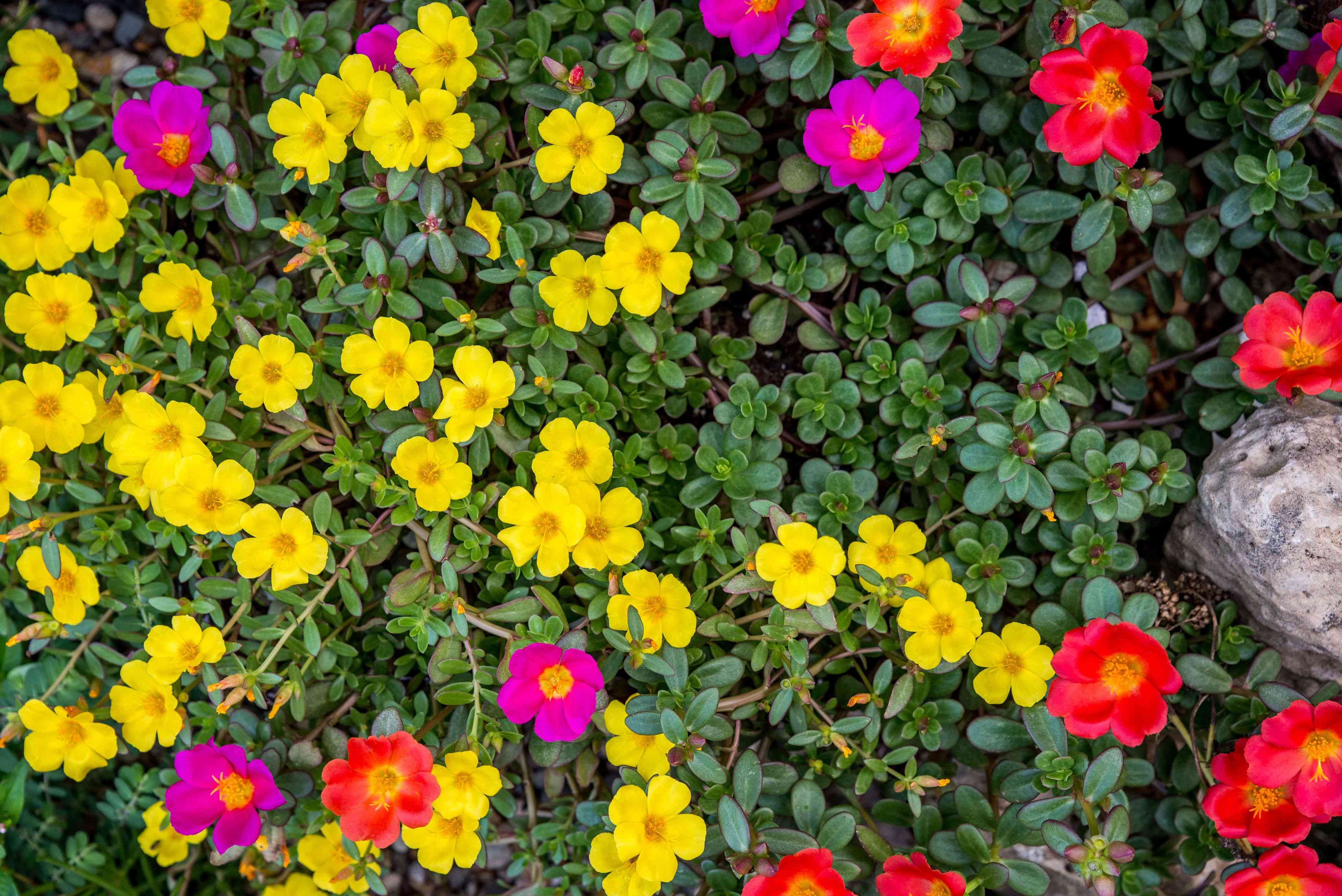 Moss rose flowers with yellow, pink and red colored petals in garden