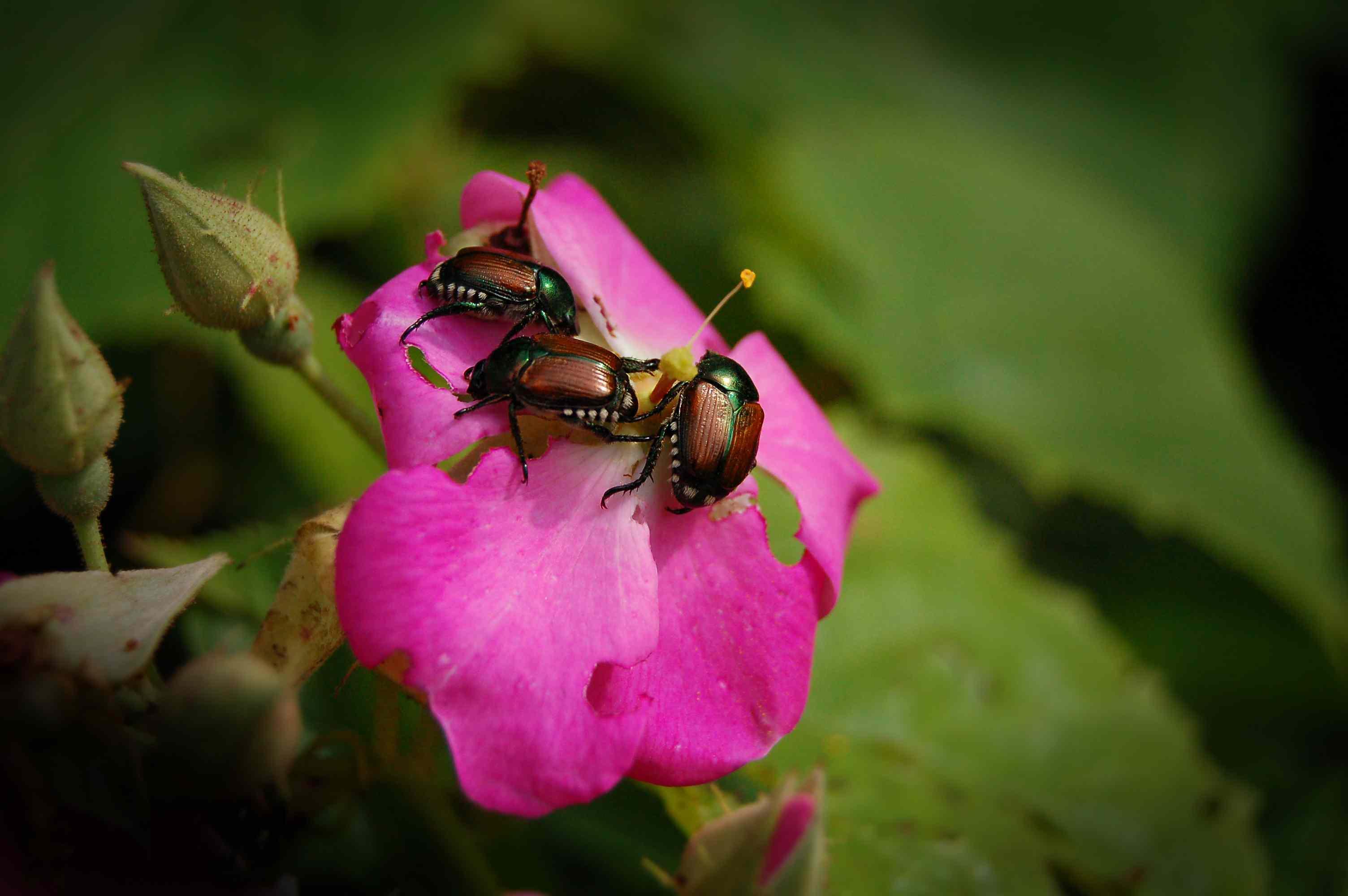 Garden Pests - Japanese Beetles