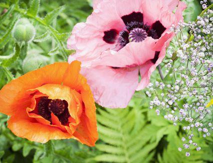 Gardening advice dramatic poppies for spring gardens mightylinksfo