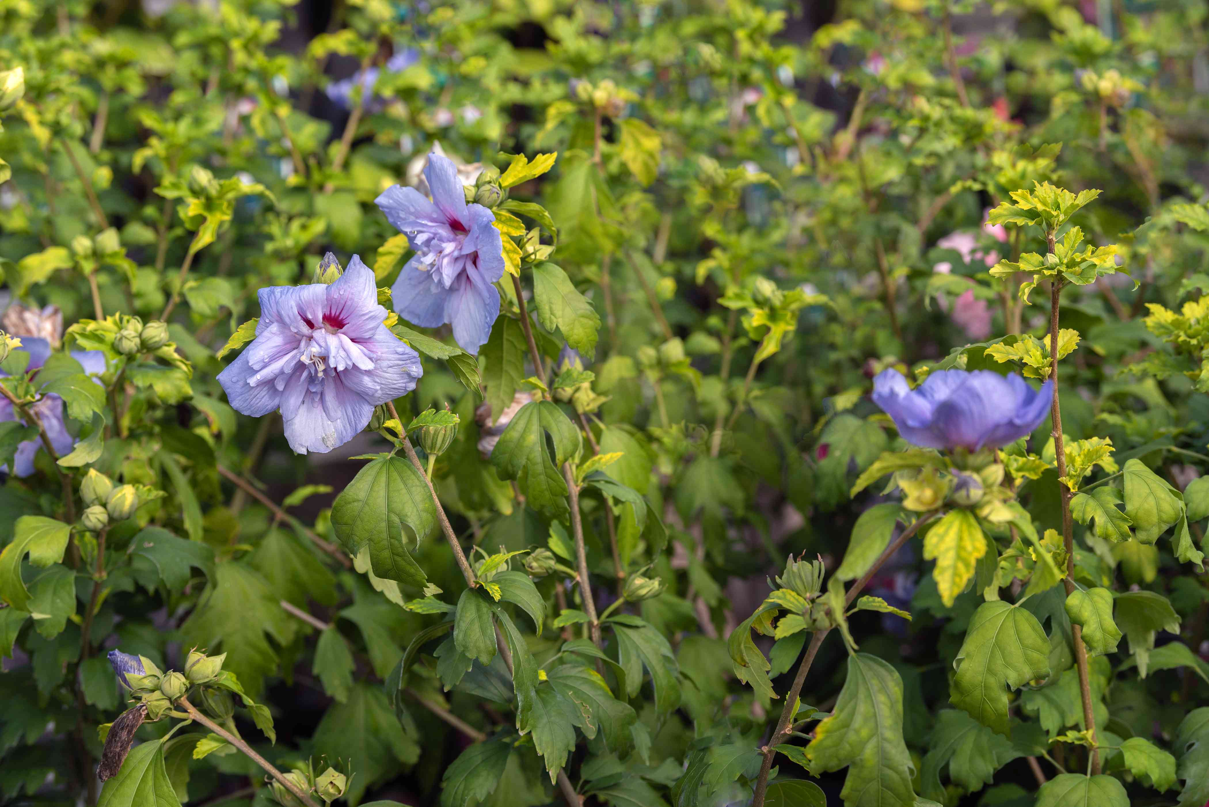 Blue chiffon rose of sharon flowers with violet peals on thin stems with yellow-green leaves