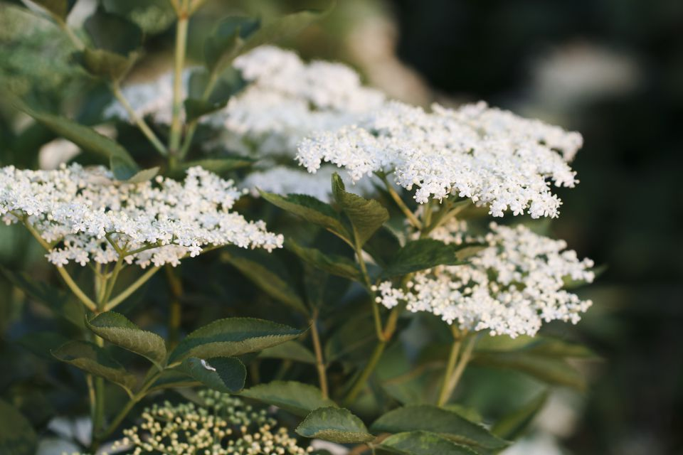 Elderflower on tree