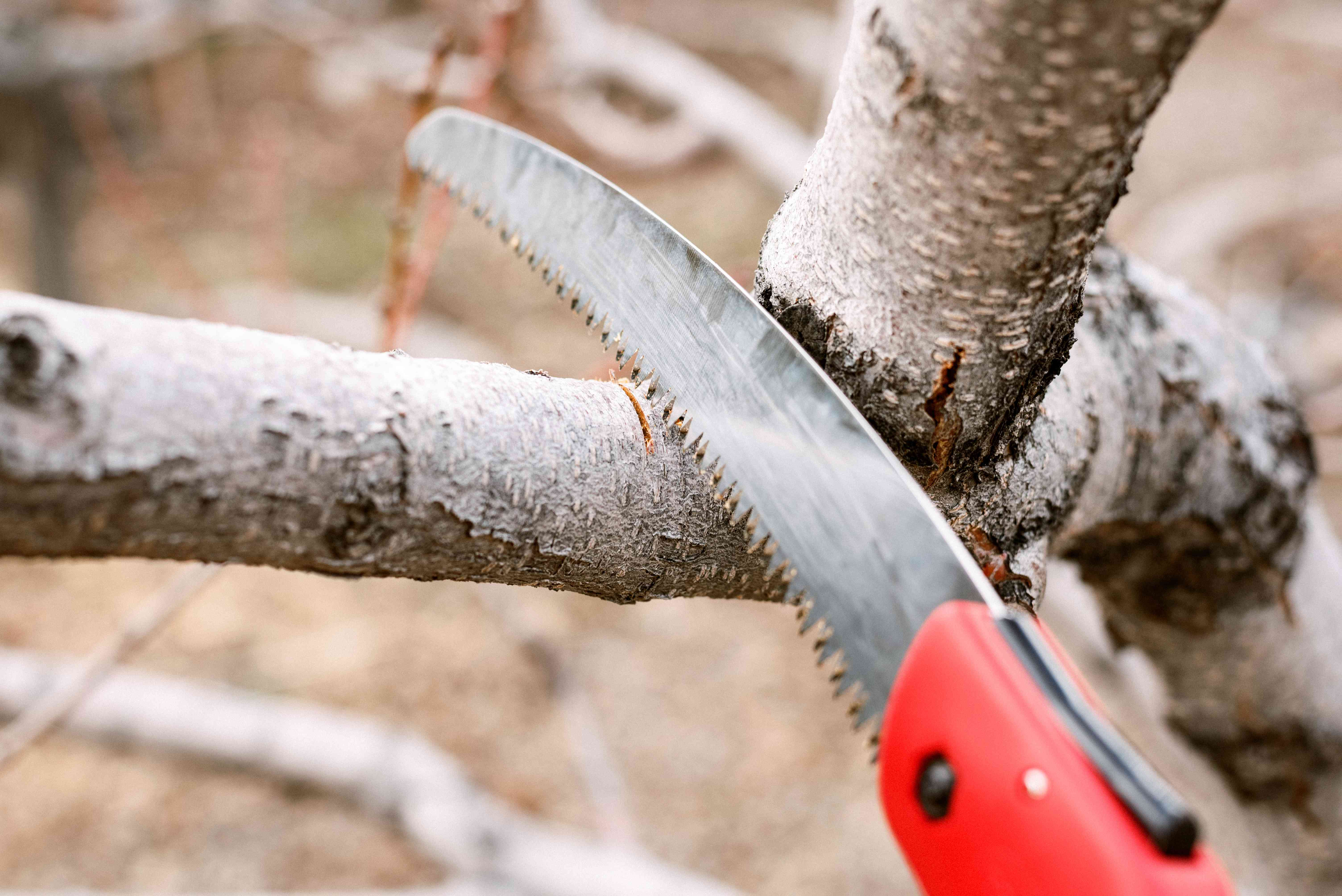 Pruning saw with red handle cutting downward on shrub branch