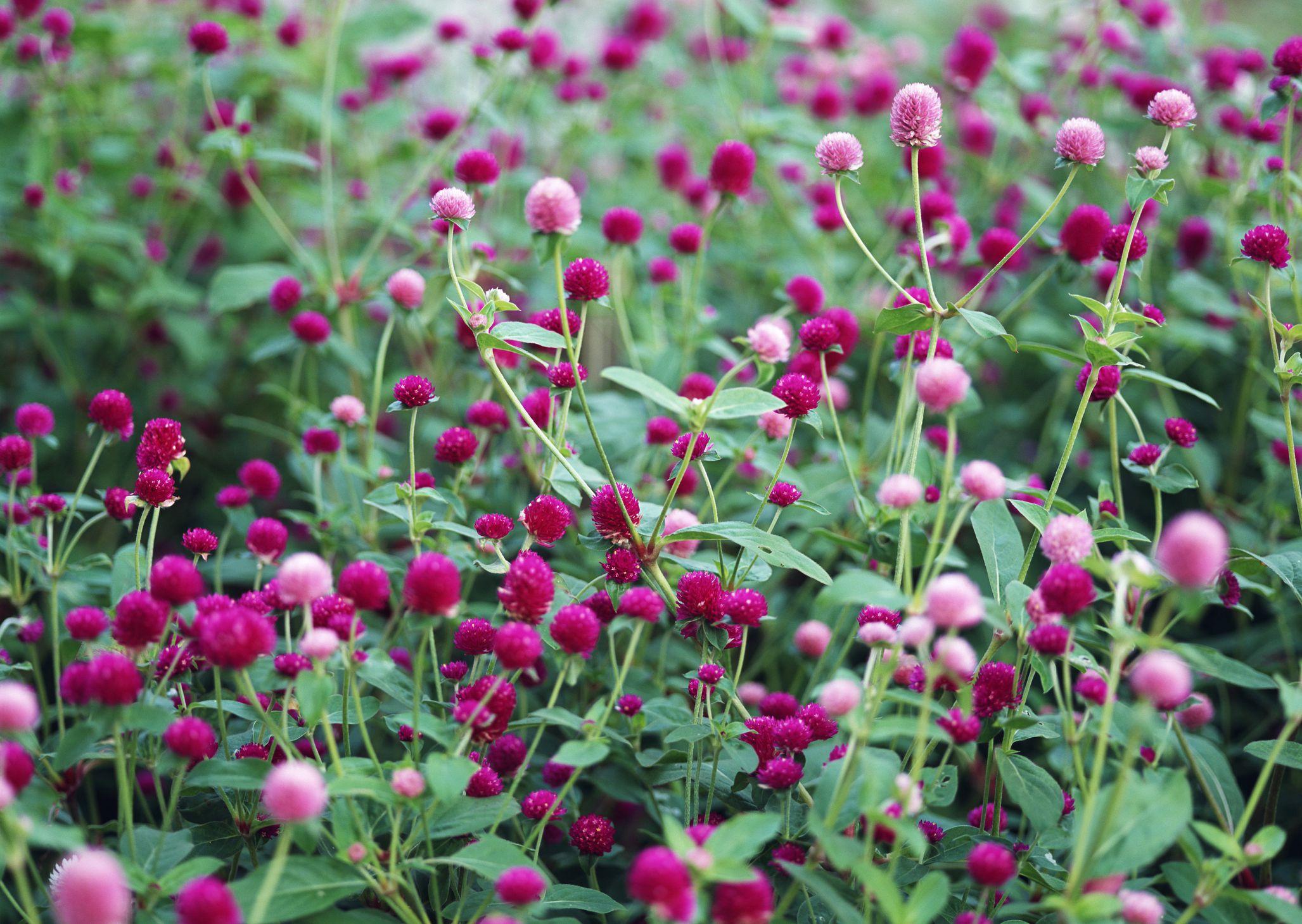Growing Drought Tolerant Globe Amaranth Flowers