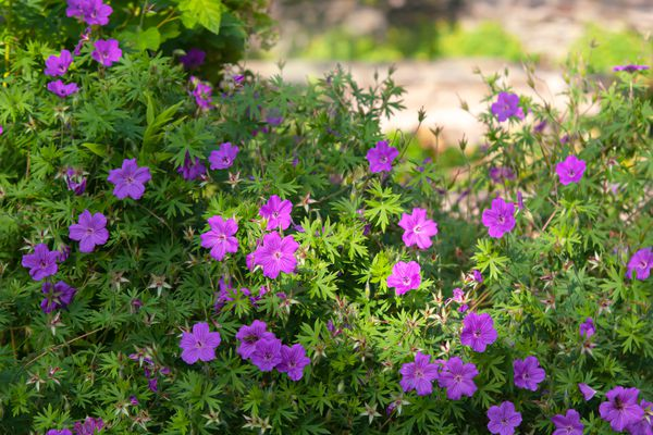 Purple hardy geranium plant surrounded by short dense leaves in bush