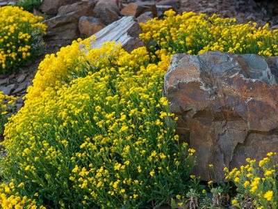 Yellow alyssum plants with yellow flower clusters on tall stems surrounding rocks