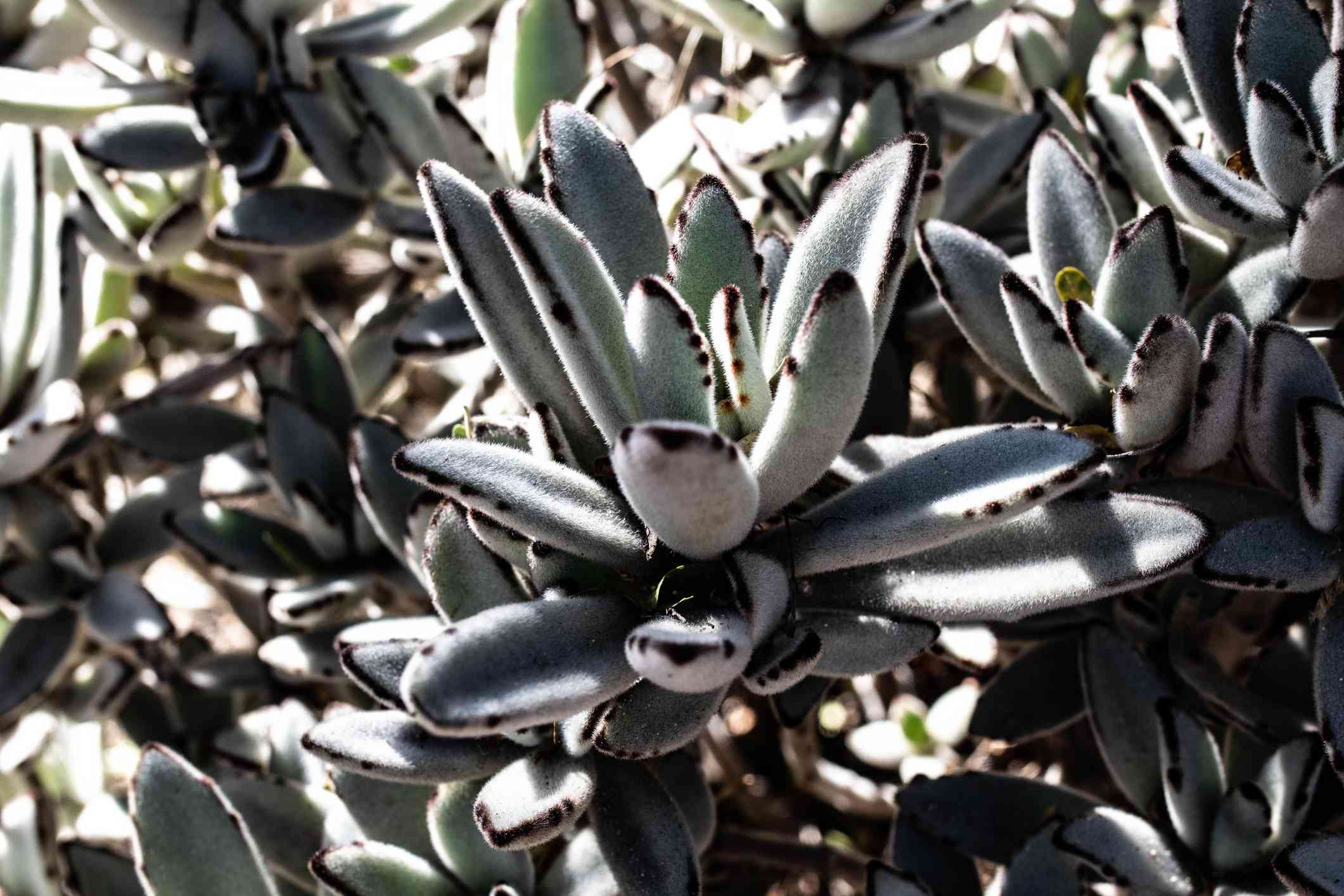Chocolate soldier plant (Kalanchoe tomentosa) from Madagascar.