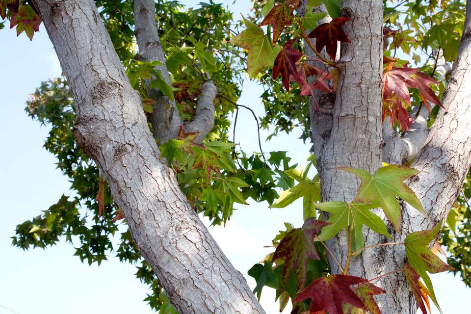 American sweetgum tree with white bark and green and red star-shaped leaves
