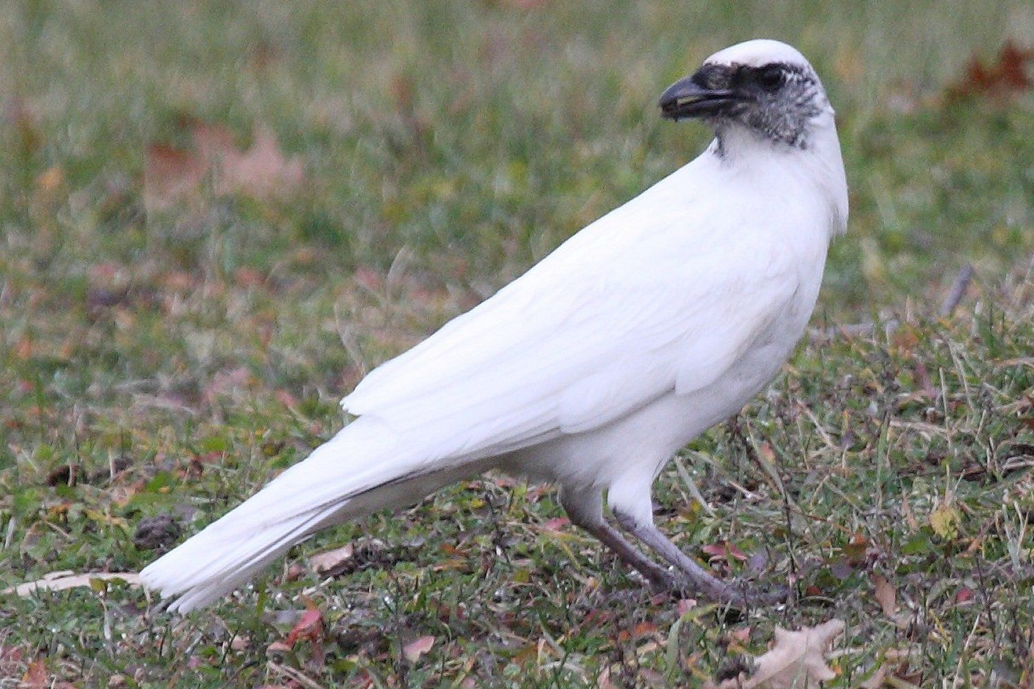 what is bird leucism leucistic birds