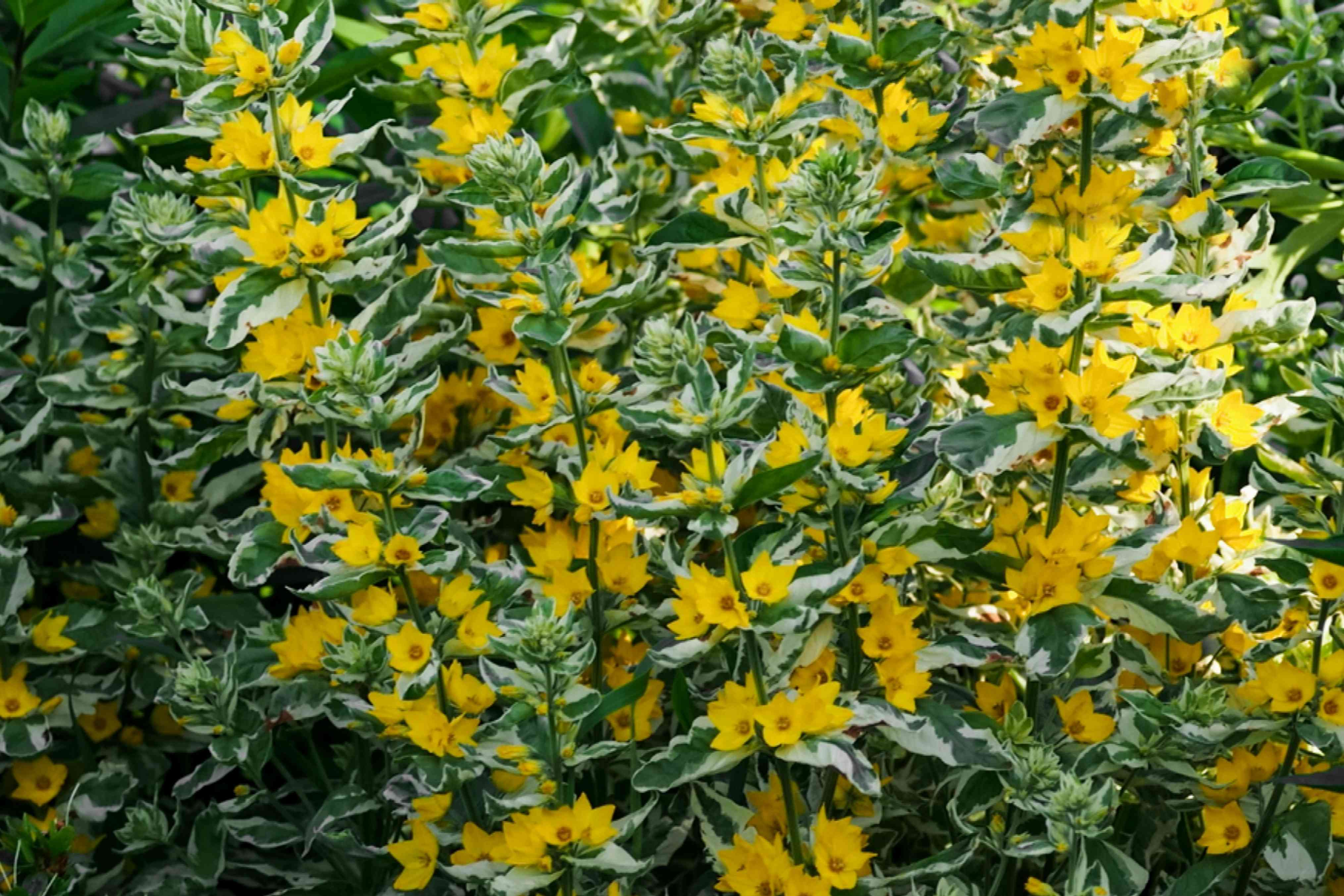 Variegated lysimachia plants with tall thin stems and yellow flowers