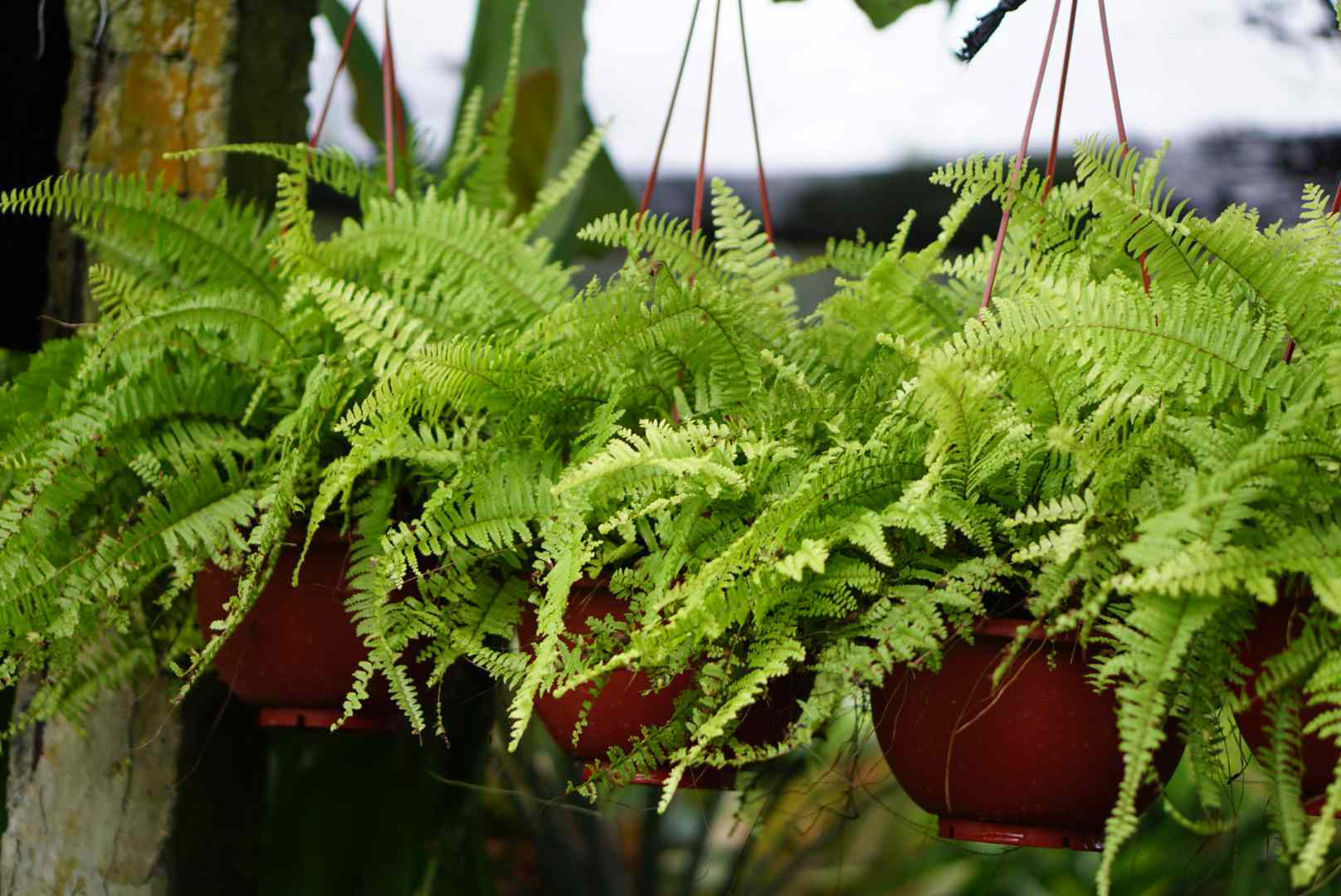 Kimberley queen ferns potted in three hanging baskets
