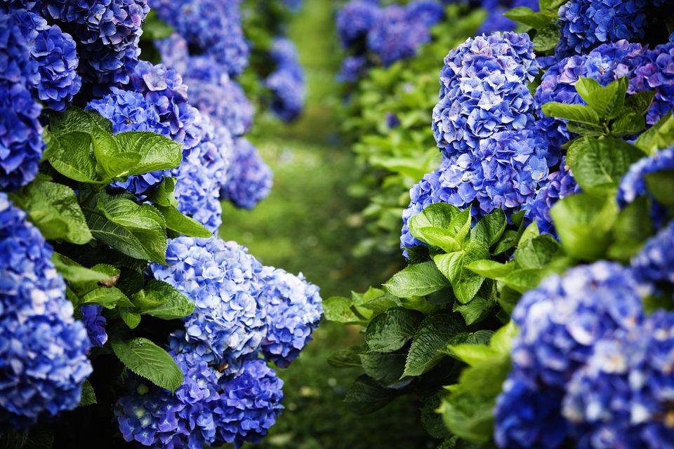 Hydrangea macrophylla shrubs yield pink blooms in alkaline soil, but dark blue flowers like this in low alkalinity.