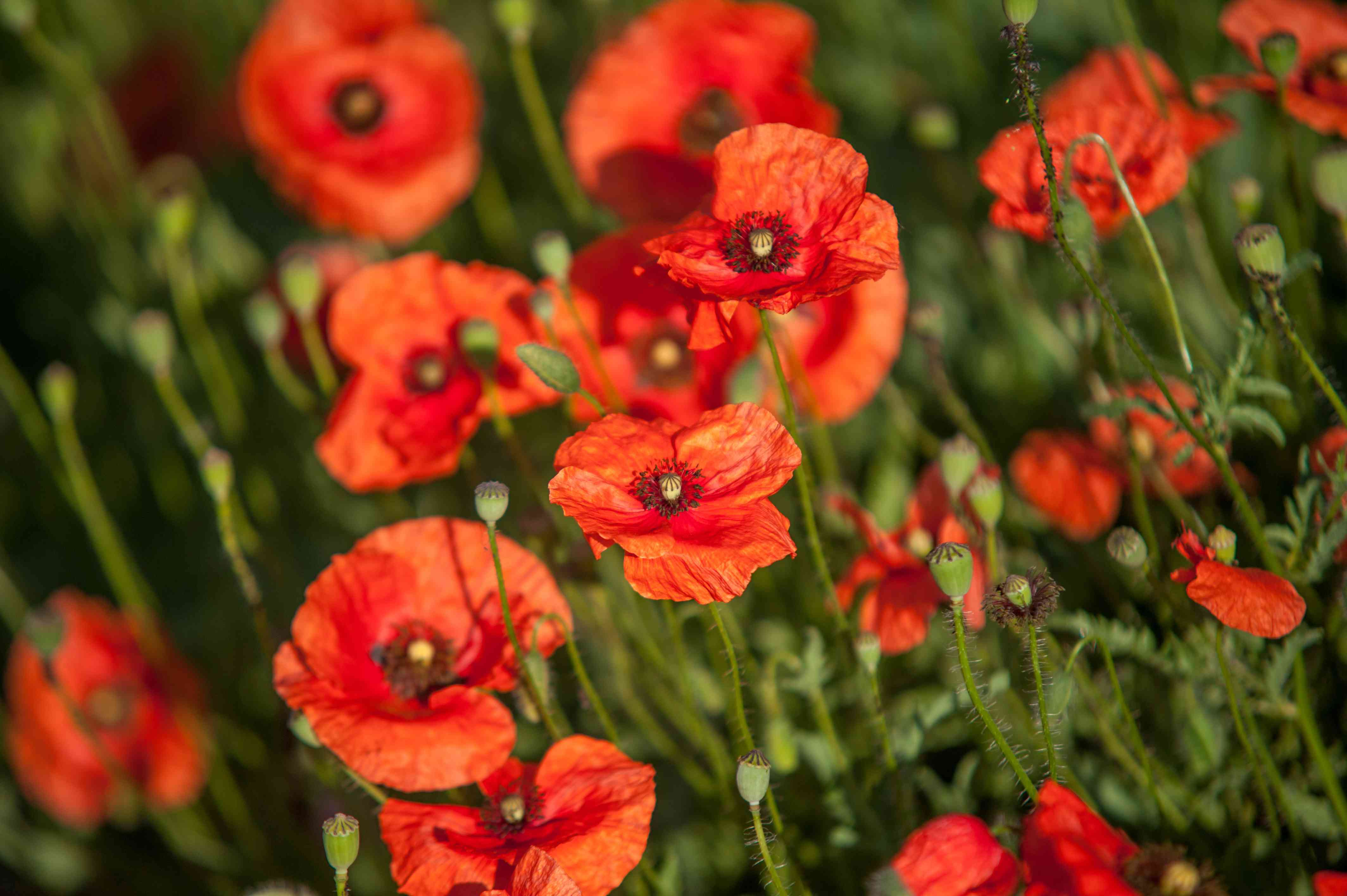 Common poppy with orange flowers and buds in sunlight