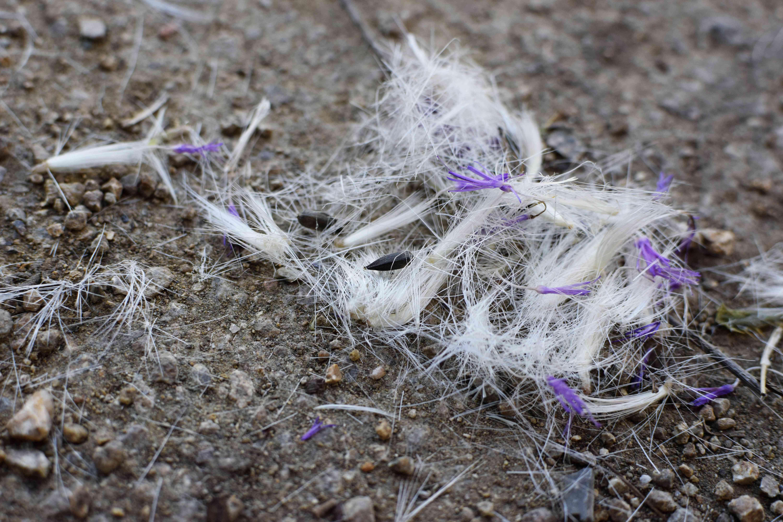 Milk thistle seeds on rocky ground