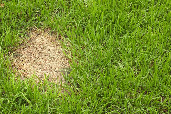 Patch of dead grass.