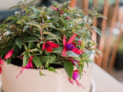 fuchsia as a houseplant