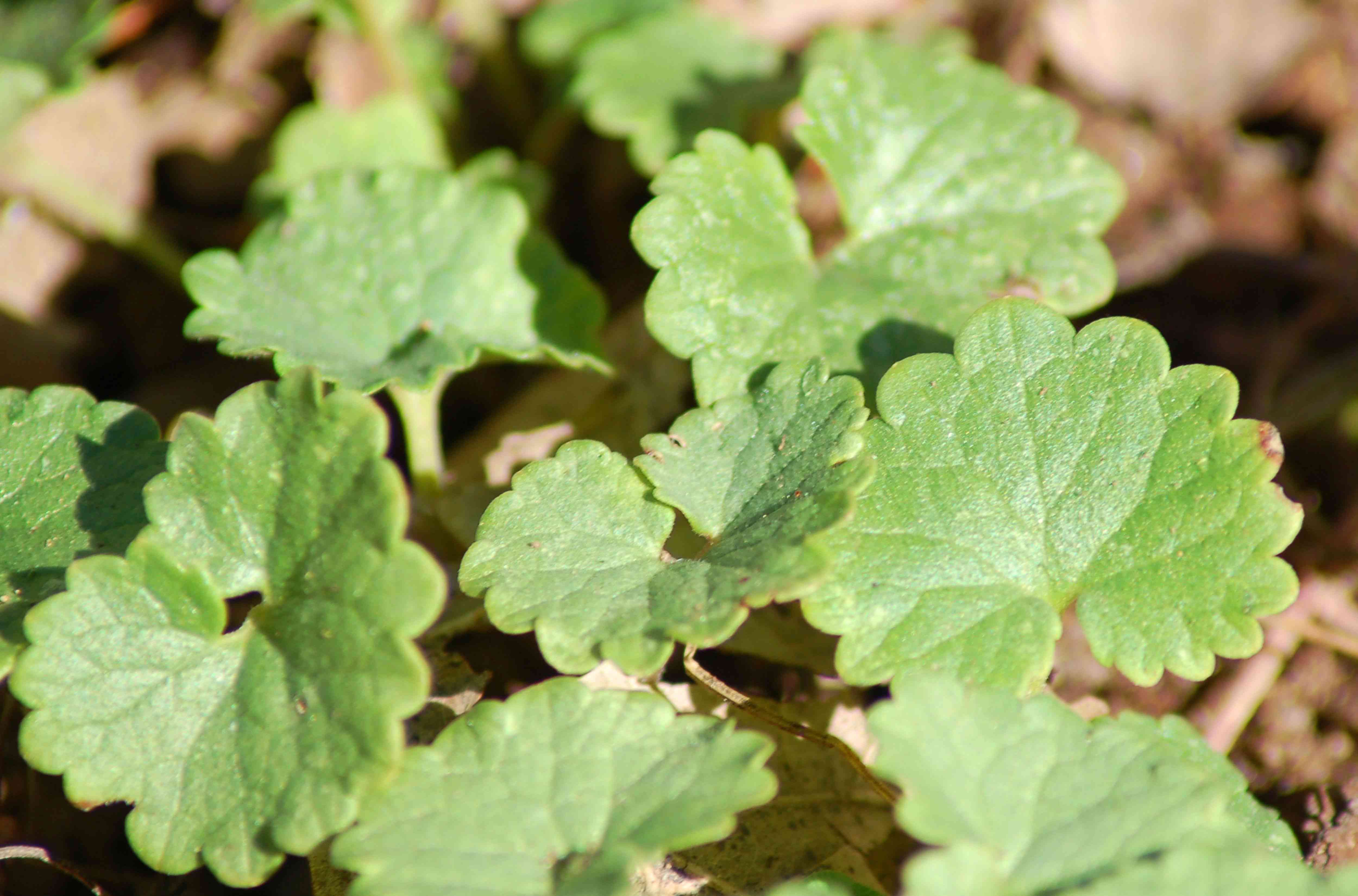 Ground ivy weed with small clover-like leaves in sunlight closeup