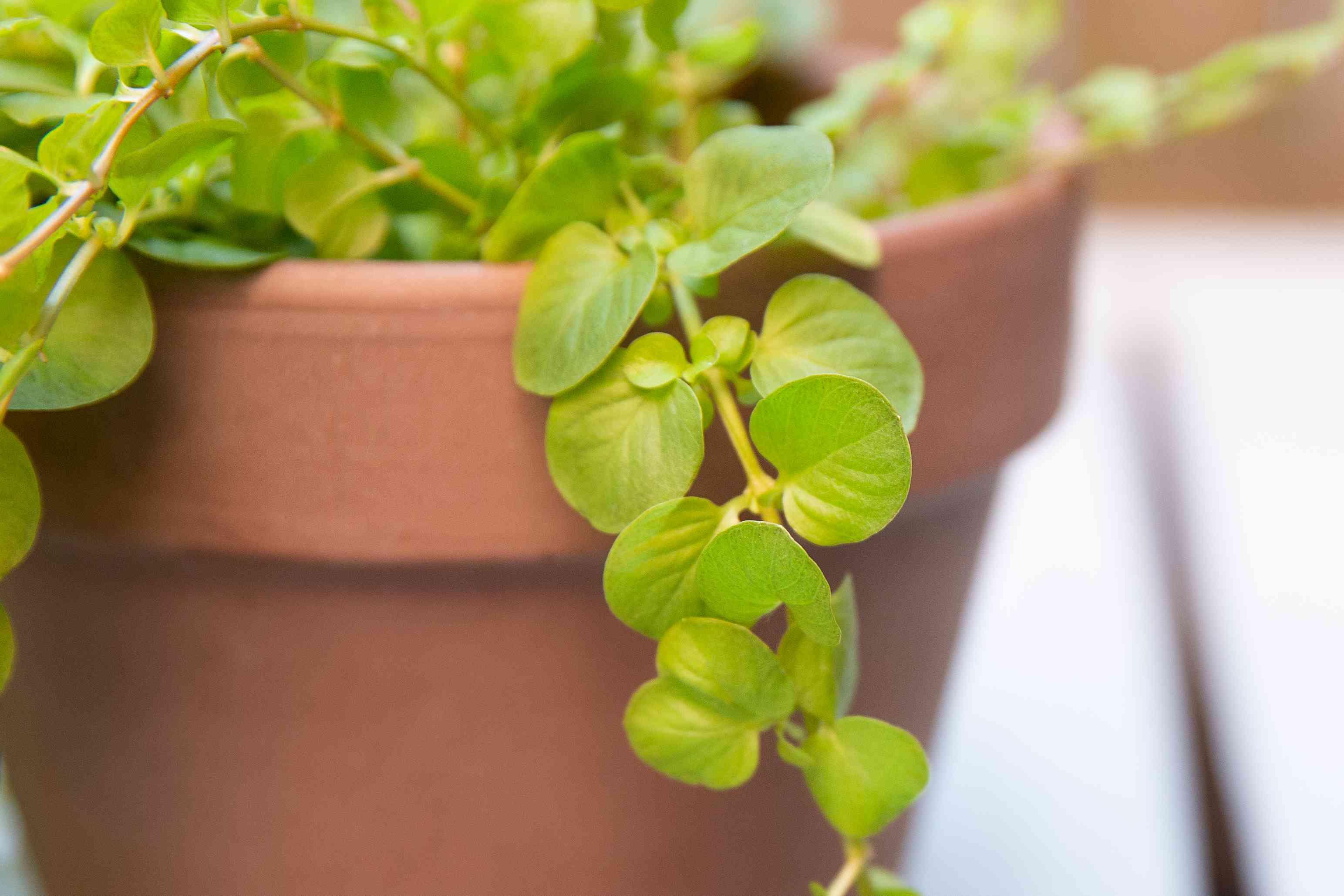 coin-like foliage of creeping jenny