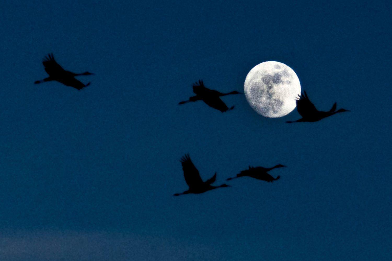 Cranes Migrating at Night