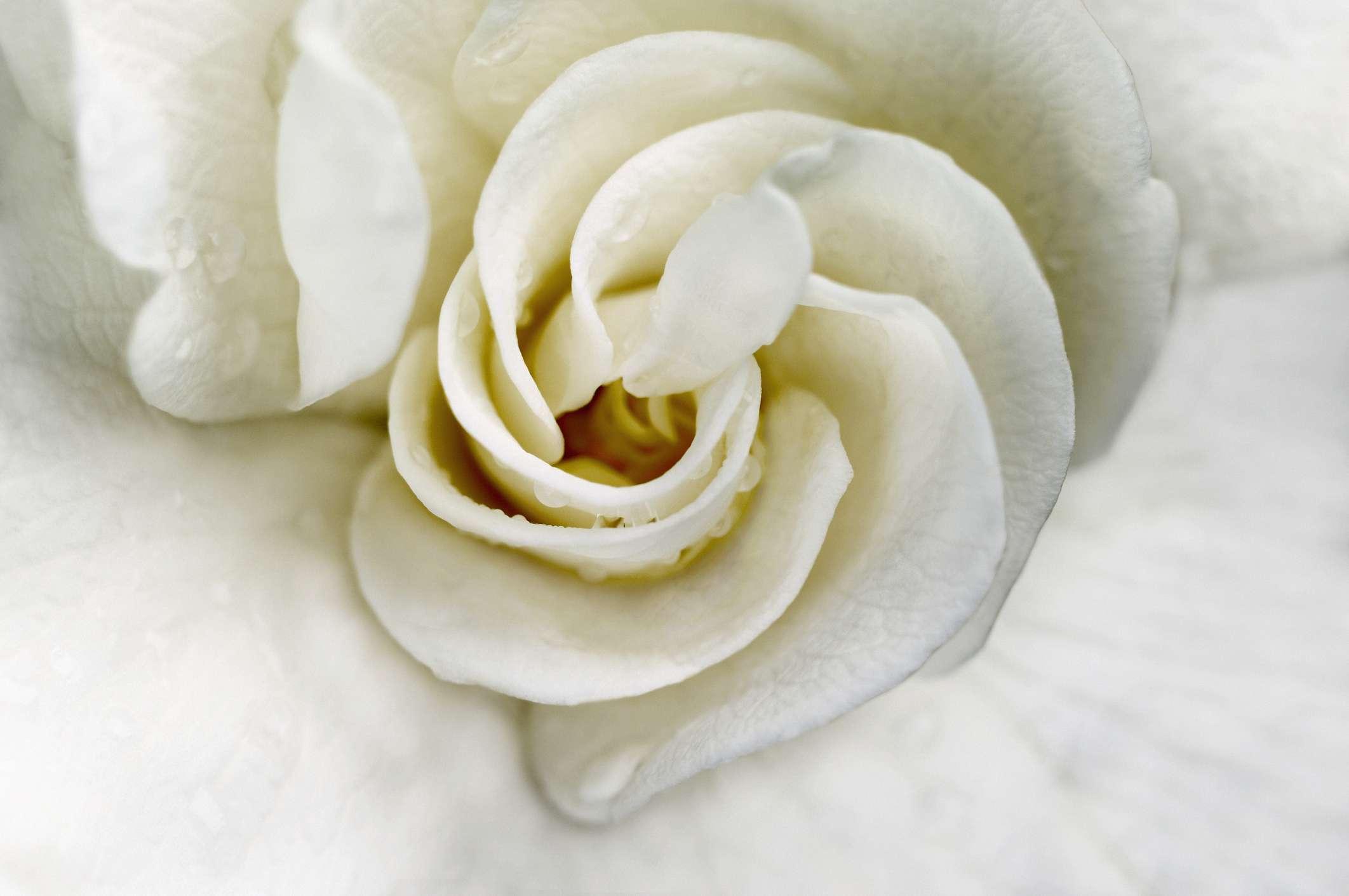 Gardenia jasminoides 'Aimee'